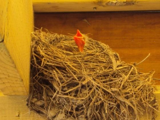 baby robin in nest with beak open