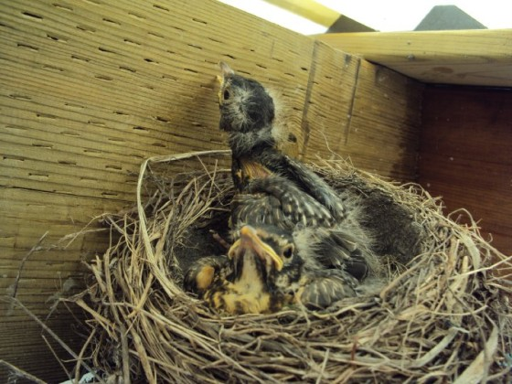 2 baby robins waiting for food