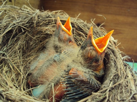 picture of baby robins beak open, wing feathers developing