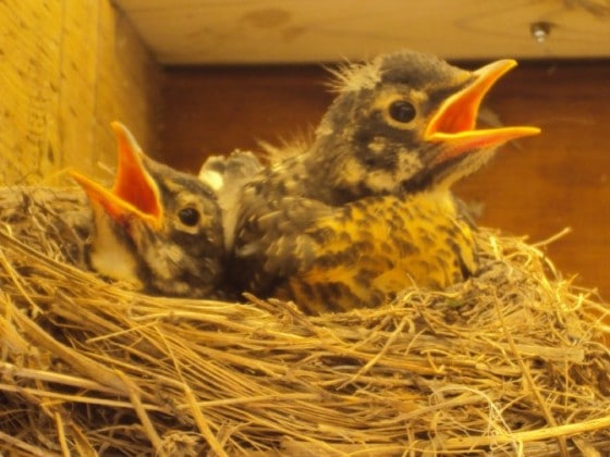 close up of 2 baby robins