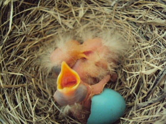 real baby robins hatching in nest