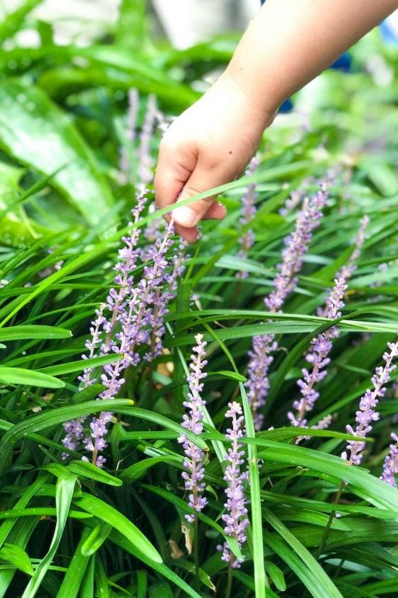 child picking lavendar